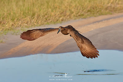 Hamerkop with outstretched wings after takeoff