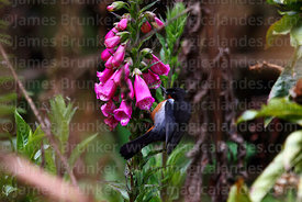 Black throated flower piercer (Diglossa brunneiventris) on foxglove / digitalis plant