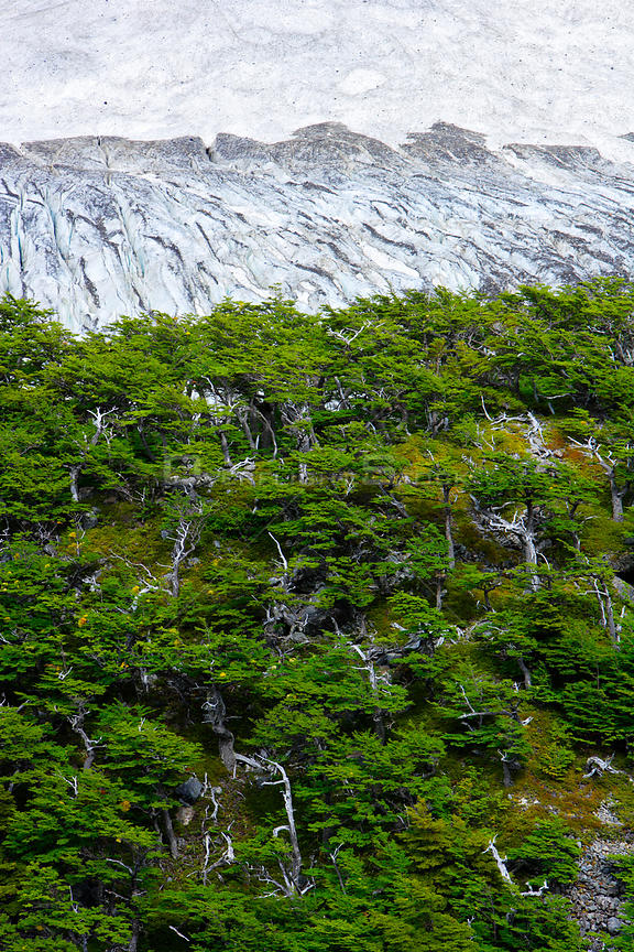 Lenga Beech forest (Nothofagus pumilio) and Frances Glacier on the W Trek, Torres del Paine National Park, Patagonia, Chile, ...