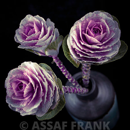 Three cabbage flowers