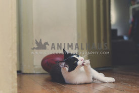 Cat laying on wooden floor licking front paw