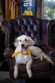 young labrador sitting on leather chair with yellow bandana.