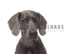 Wary blue weimaraner headshot against white bakcground