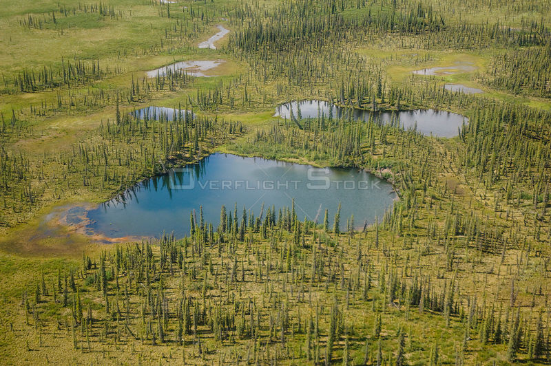 Aerial view of Taiga ponds and Spruce trees (Picea abies) in the boreal lowlands of the Yukon Flats National Wildlife Refuge....