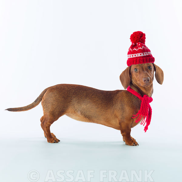 Dachshund dog with wooly hat on white background