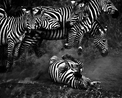 5324-Show_Jumping_of_zebras_Tanzania_2007_Laurent_Baheux