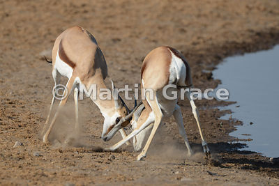 Two Springbok (Antidorcas marsupialis) fighting, Etosha National Park, Namibia