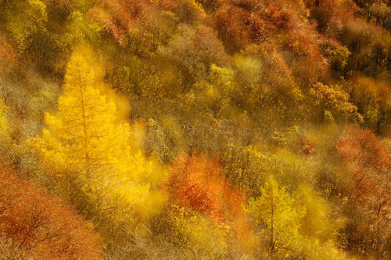 Abstract shot at dawn over a mixed woodland in autumn. Kinnoull Hill Woodland Park, Perthshire, Scotland, November.