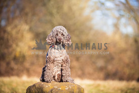 Miniature Poodle sitting down