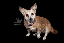 happy jack russell mix on dark backdrop