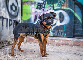 Brussels griffon puppy with urban graffiti