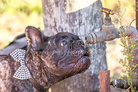 French bulldog drinking from tap