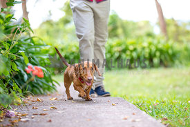 Happy dachshund walks with owner