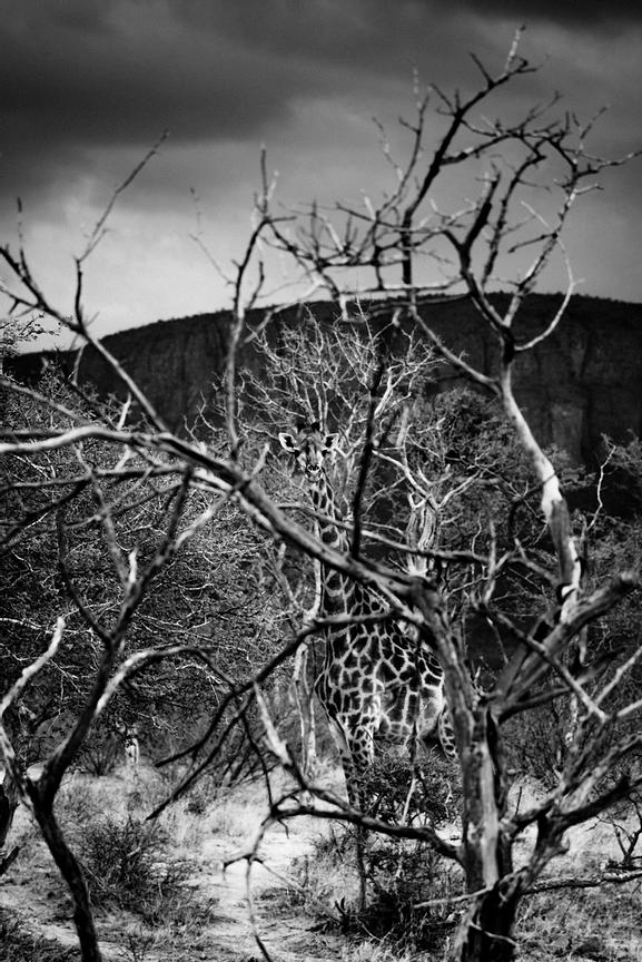 06262-Giraffe_hidden_behind_the_tree_Laurent_Baheux