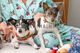 two-small-dogs-in-lap-christmas-pjs