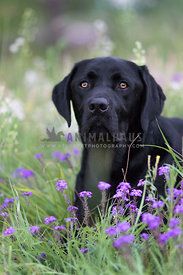 handsome black lab sniffing purple flowers