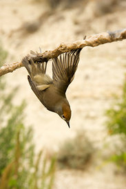 Blackcap Sylvia atricapilla illegally trapped on limestick for use as ambelopulia Cyprus