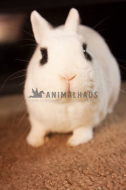 Hotot bunny close up