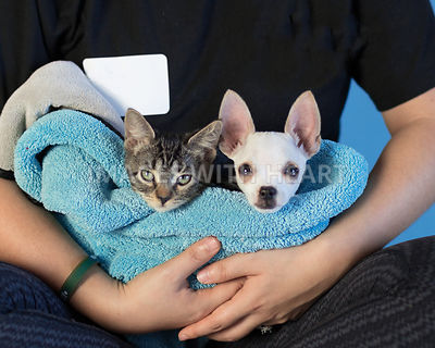 tiny white puppy and tabby kitten cradled in arms with blue towel
