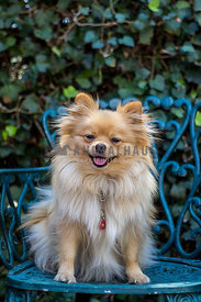 orange and cream Pomeranian sitting on a green garden chair