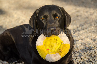 adult black Labrador dog holding well loved frisbee toy in his mouth