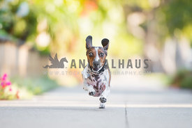 A piebald dachshund running down the sidewalk