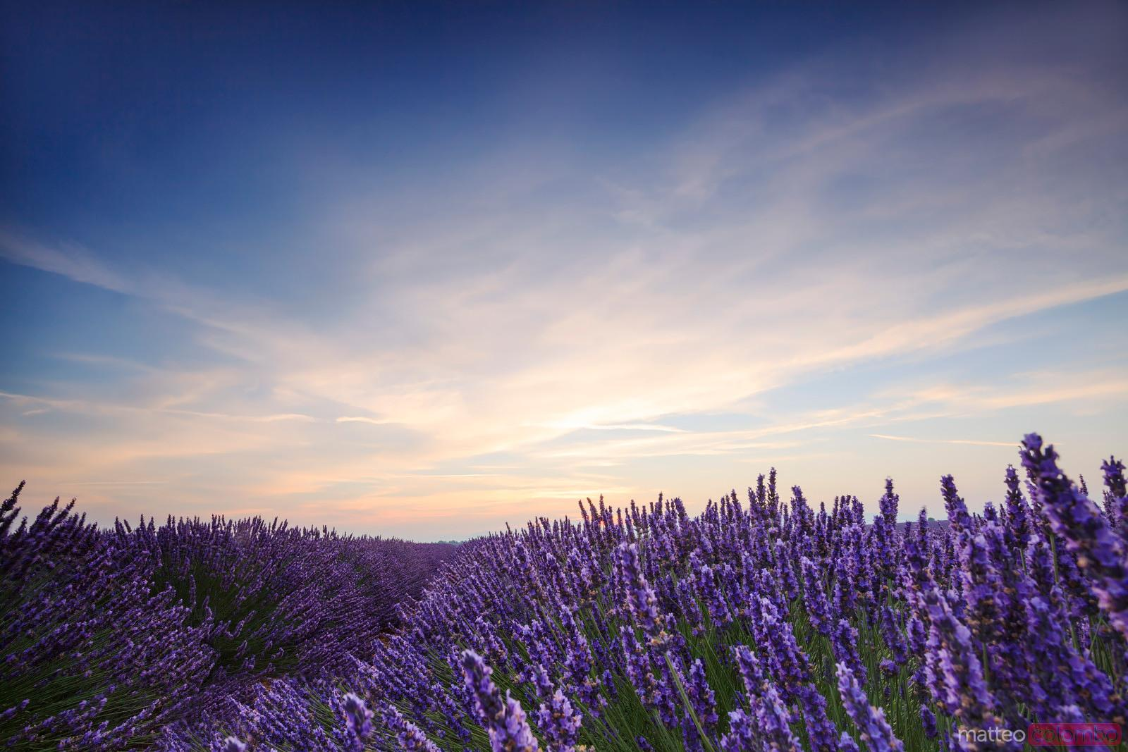 Lavender field at dawn, Provence, France