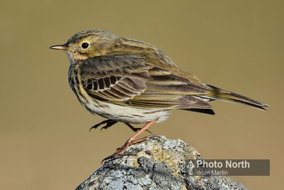 PIPIT 00a - Meadow pipit