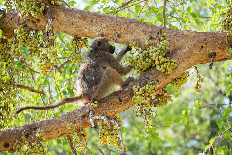 Chacma Baboon Eating Wild Figs
