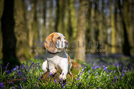 Dog in Bluebell Woods