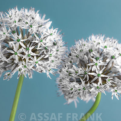 Allium photos