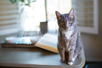 Grey Tabby Cat on Table