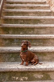 A dachshund dog sitting on rural stairs