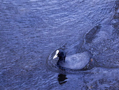 Coot on the rver Wye at Bakewell