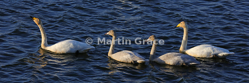 Family of four Whooper Swans (Cygnus cygnus) with the parents at the front and rear, Dumfries & Galloway, Scotland