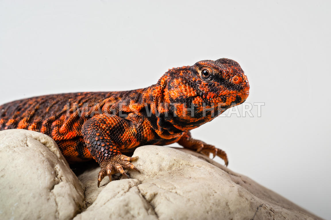 Uromastyx Lizard on rock