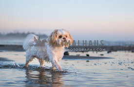 fluffy white shih tzu walking through water at the beach