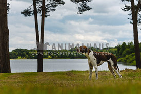 English Pointer standing by lake