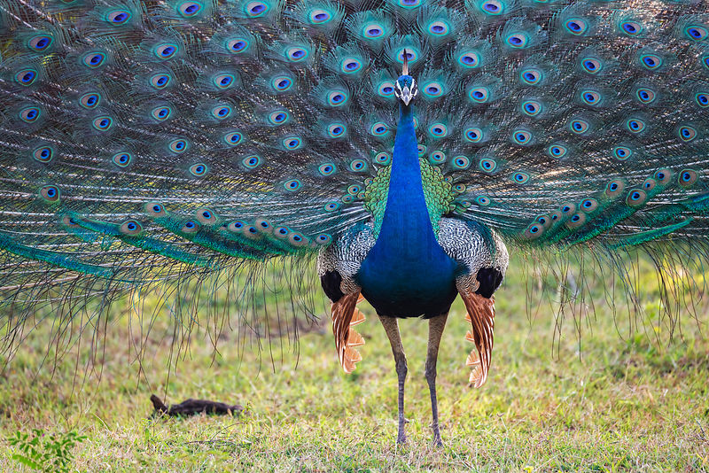 Displaying Male Peacock