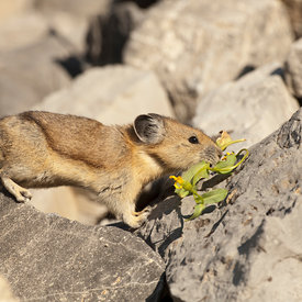 Pika wildlife photos