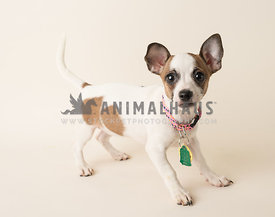 shelter tricolor puppy with erect ears