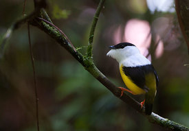 White-collared Manakin Manacus candei displaying at lek La Selva Costa Rica