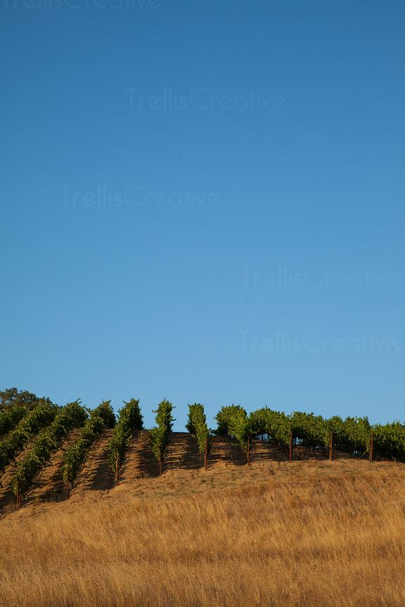 Vineyards and dry grass against clear sky