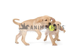 Two yellow lab puppies playing with tennis ball on white background