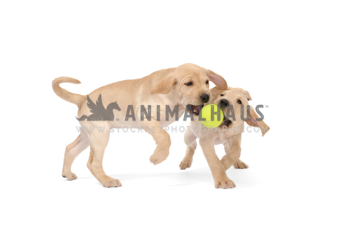 Animalhaus Media Two Yellow Lab Puppies Playing With