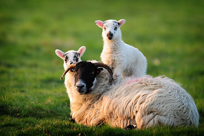 Sheep and 2 Lambs