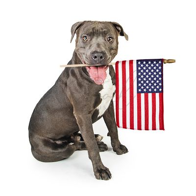 American Pit Bull Terrier With Flag