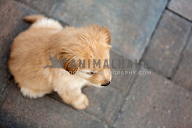 Looking down at a golden puppy