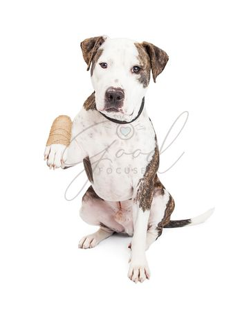 Pit Bull Dog With Injured Paw