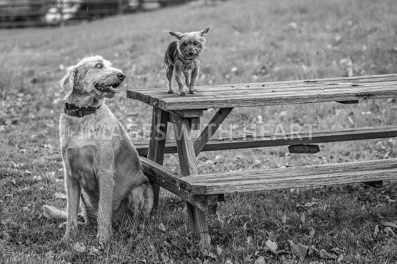 dog_looking_humorously_at_dog_brother_on_picnic_table
